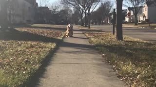 Golden retriever running toward camera in slomo