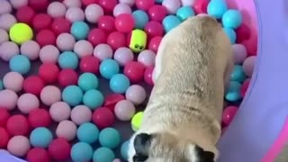 Pug Playing In A Ball Pit Is Having The Greatest Day Ever