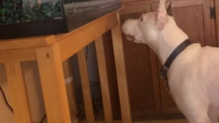 White dog with orange leash likes fish - Video