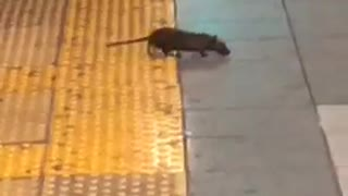 Hello friend rat dances across subway