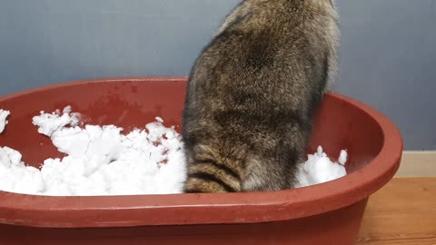 Raccoon plays with snow in the box.