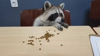 Raccoon sits down and eats.