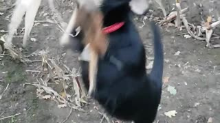 Dog will not let go of corn  - Video