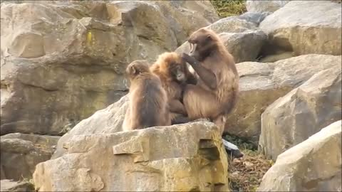 Monkeys Picking Lice on a Rock