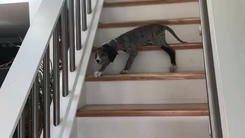 Stairs are Scary For the Puppy