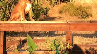 Brown dog sitting on porch during sunset slow motion