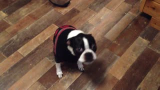Boston Terrier reacts to spicy food - Video