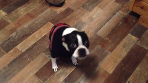 Boston Terrier reacts to spicy food