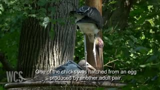 Storks become surrogate parents at NY's Bronx Zoo - Video
