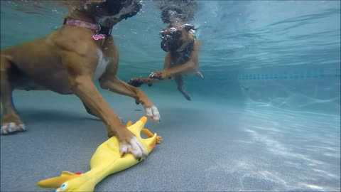 Pair of Boxers dive underwater for favorite toy