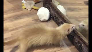 Ferret Watch Himself in Front of The Mirror With Astonishment