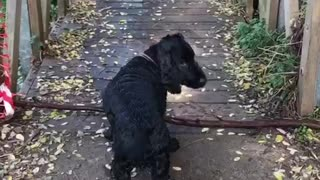 Black dog trying to cross bridge with large stick - Video