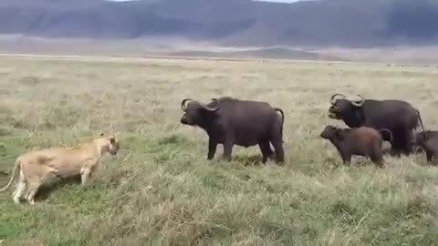Lion trying to hunt a baby Buffalo in Ngorongoro Crater