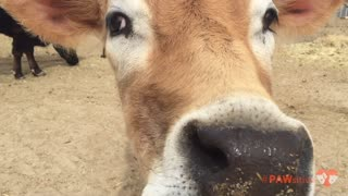 Extra friendly cow hands out kisses - Video