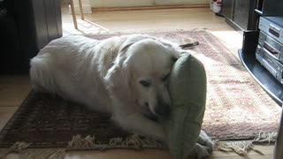 Golden Retriver with his beloved pillow