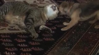 Small dog pulls on cats ears - Video