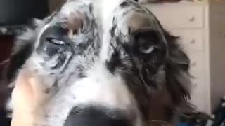 Grey dog licking owner on face - Video