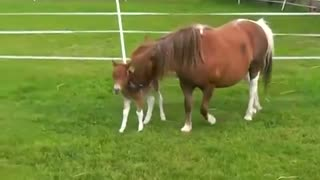 (VIDEO) Look At This Cute One-Day-Old Falabella! - Video