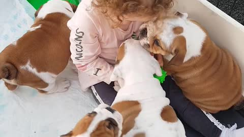 Little girl preciously plays with litter of bulldog puppies