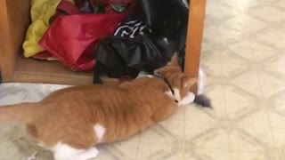 Cat falls on back after failed catch - Video