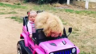 Brown dog drives pink barbie toy car - Video