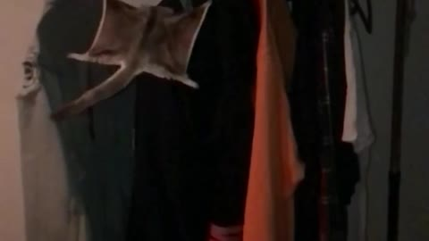 Flying squirrel jumps from hand onto jacket on rack