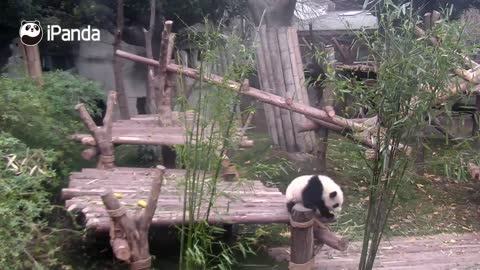 Clingy baby panda refuses to let go of favourite keeper's leg