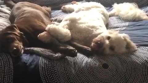 Brown and white dog laying in bed simultaneously yawn same time