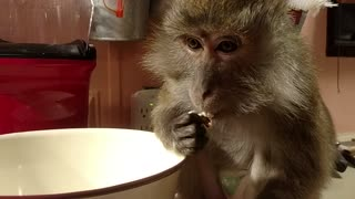 New Year's Monkey Celebrates With A Shot, Popcorn, Loud Scream, & Bubble Bath   - Video