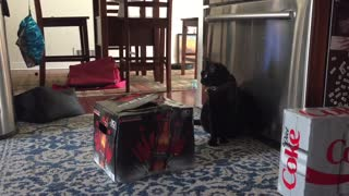 Cat in the box scares dog  - Video