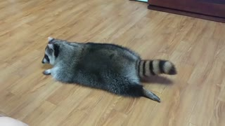 Raccoon pulls off impressive turtle impersonation  - Video