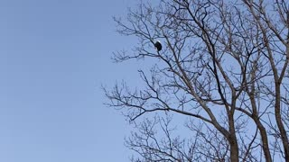 Bald Eagle greets me in the morning
