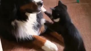 My cat showing and playing with a dog