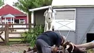 goat massage - Video