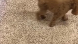 Brown dog can't catch tennis ball on carpet