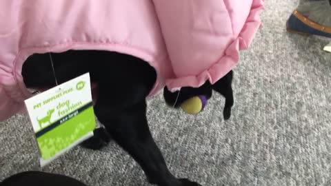 Derpy dog plays fetch wearing ridiculous coat