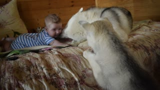 Amazing Husky Zohan plays with his best friend Arthur