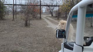 White Lion Pursues Car with Tourists