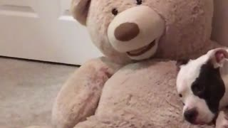 White dog laying down on teddy bear  - Video