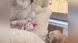 Pug adorably struggles to retrieve stuffed animal