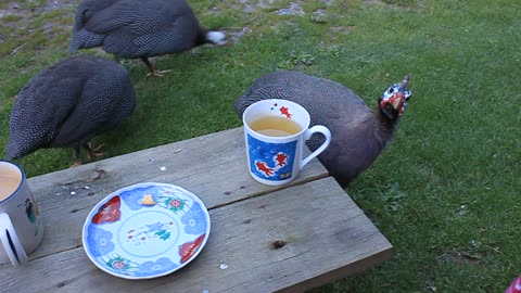Guinea Fowl enjoys cup of tea with owner