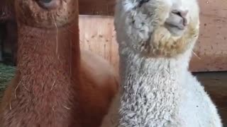 Brown and white alpacas are eating their breakfast