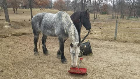 Bored horses plays with muck bucket and shovel