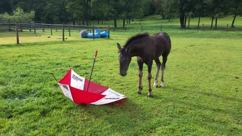 Spoons the orphaned foal meets umbrella for the first time