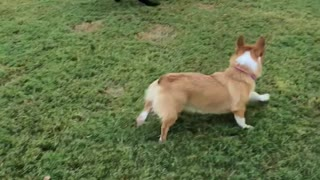 Corgi thinks she's a big dog
