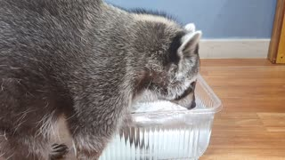 Raccoon plays with water and finds snacks and eats them