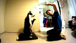 Border Collie mimics owner's movements