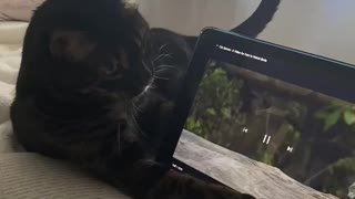 Bengal cat hilariously attacks birds on tablet screen