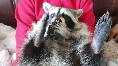 Raccoon takes the sticker off the soles of his feet.