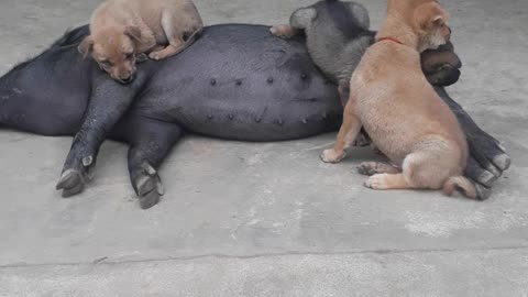 Hungry Puppies Get Milk From Pig